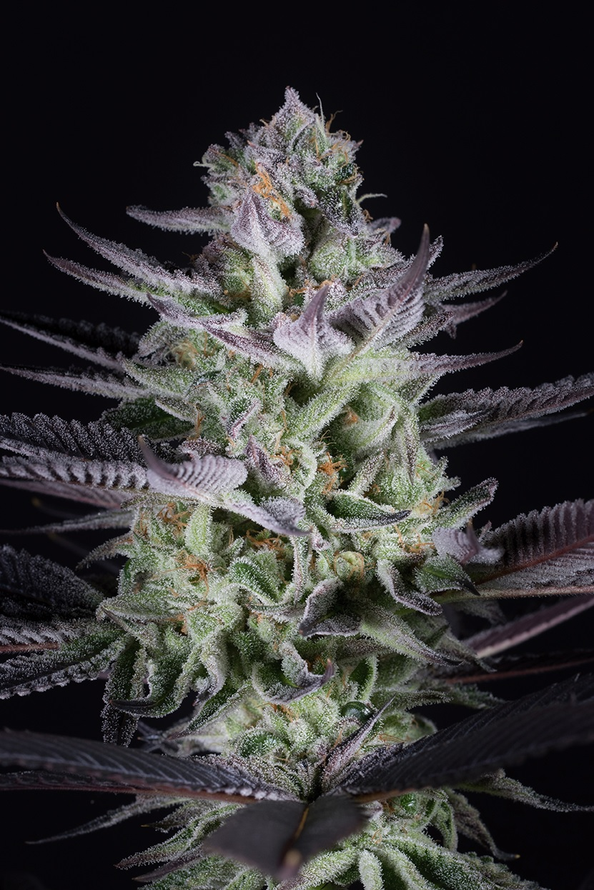 DINAFEM BLUEBERRY COOKIES – 5 seeds