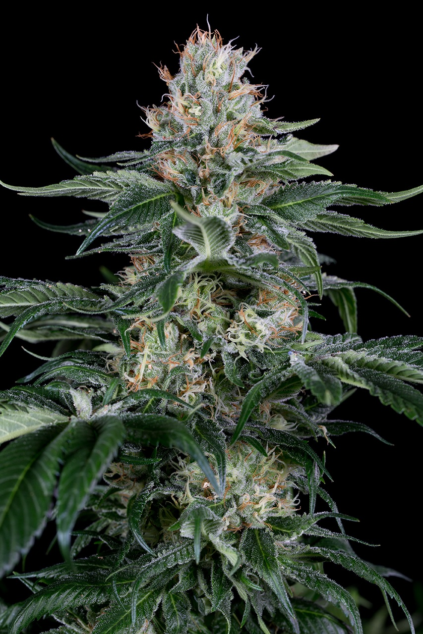 DINAFEM ORANGE JUICE – 5 seeds