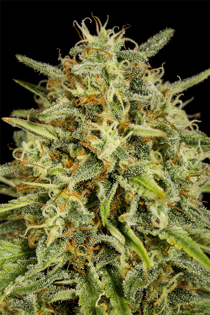 DINAFEM STRAWBERRY AMNESIA – 5 seeds